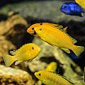 Yellow Reef Fish by Chris Smith