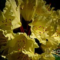 Yellow Rhododendron by CapeScapes Fine Art Photography