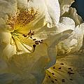 Yellow Rhododendron by Wes and Dotty Weber