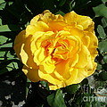 Yellow Rose #1 by Mary Brhel
