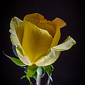 Yellow Rose 1 by Mitch Shindelbower