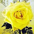 Yellow Rose 2 by Barbie Corbett-Newmin