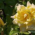 Yellow Rose And Bud by Bob Phillips