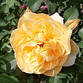 Yellow Rose And Two Rosebuds by Kate Gallagher