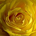 Yellow Rose by Anthony Sacco