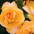 Yellow Rose by Brian Jannsen