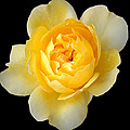 Yellow Rose by CarolLMiller Photography