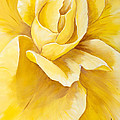 Yellow Rose Close Up by Debi Bond