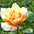 Yellow Rose by Duane McCullough