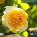 Yellow Rose by Fabian Roessler