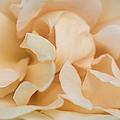 Yellow Rose - Featured 3 by Alexander Senin