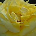 Yellow Rose Frills by Maria Urso