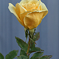 Yellow Rose Greeting Card by Ernie Echols