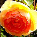 Yellow Rose by H Cooper