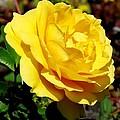 Yellow Rose IIi by Zina Stromberg