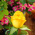 Yellow Rose In Bloom by Donna Jackson