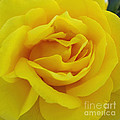 Yellow Rose by Jacklyn Duryea Fraizer