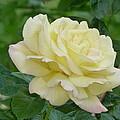 Yellow Rose by Karen Capehart