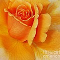 Yellow Rose by Kathleen Struckle