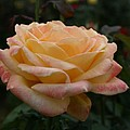Yellow Rose Kissed By Pink Fairy by Jacqueline Russell