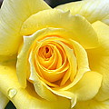 Yellow Rose L by Michelle Calkins