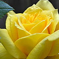 Yellow Rose Ll by Michelle Calkins