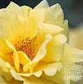 Yellow Rose Macro by Carol Groenen