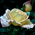 Yellow Rose Morning Dew by Julie Palencia