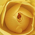 Yellow Rose by Natalie Kinnear