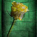 Yellow Rose by Nathan Wright