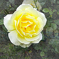 Yellow Rose Of Summer by Victoria Harrington