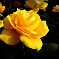 Yellow Rose Of Texas by Dale Paul