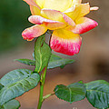 Yellow Rose by Optical Playground By MP Ray