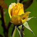 Yellow Rose by Tikvah's Hope
