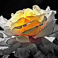 Yellow Rose Series - ...but Soul Is Alive by Lilia D