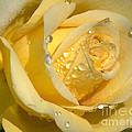 Yellow Rose by Sharon Elliott