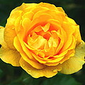 Yellow Rose by Stephen Melcher