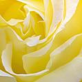 Yellow Rose by Svetlana Sewell