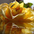 Yellow Rose Wet And Dry by Debbie Portwood