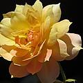 Yellow Rose by Zina Stromberg