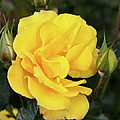 Yellow Roses by Christiane Schulze Art And Photography