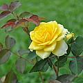 Yellow Roses by Cornelia  DeDona