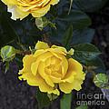 Yellow Roses by Diane Macdonald