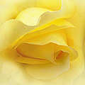 Yellow Roses Triptych Panel by Jennie Marie Schell