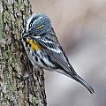 Yellow-rump Warbler by Mike Dickie