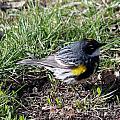 Yellow-rumped Warbler   by Lori Tordsen