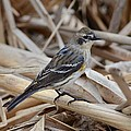 Yellow-rumped Warbler by Debra Martz