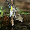 Yellow-rumped Warbler Drinking by Anthony Mercieca