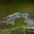 Yellow-rumped Warbler Feeding Young by Anthony Mercieca