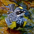 Yellow-rumped Warbler by Jean Wright